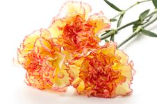Free Carnation Flowers Stock Images - 20750274