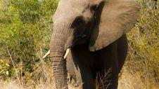 Free Elephant South Africa Stock Photos - 20752223