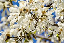 Blossoming Of Magnolia Trees Royalty Free Stock Photo
