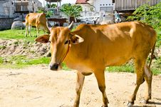 Free Standing Cow Look At The Camera Royalty Free Stock Images - 20753589