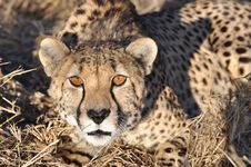 Free Alert Cheetah Crouching Royalty Free Stock Photography - 20755307