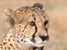 Free Alert Cheetah Sitting Royalty Free Stock Photos - 20755318