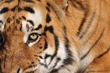Free Menacing Tiger Royalty Free Stock Image - 20755326