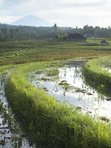 Free Rice Field Stock Photography - 20757162