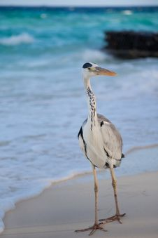 Free Grey Heron Royalty Free Stock Image - 20757176