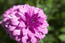 Free Dahlia Stock Photography - 20757622