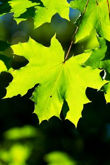 Free Maple Leaves Stock Photo - 20758320