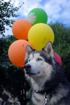 Free Husky Dog And Balloons Stock Photos - 20758343