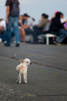 Free Lonely Chihuahua Stock Image - 20758701