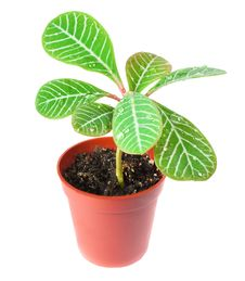 Free A Small Palm In A Pot  Isolated On White Stock Image - 20759541