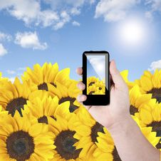 Free Cell Phone And Sunflower Royalty Free Stock Image - 20761086