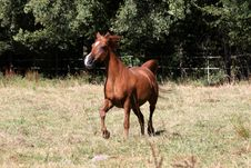 Free Arabian Horse Royalty Free Stock Photos - 20762058