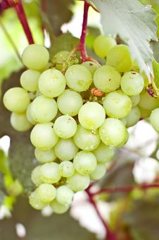 Free Grapes Stock Photography - 20762602