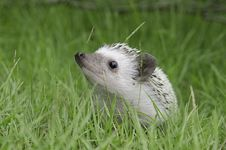 Free Hedgehog On Green Grass Royalty Free Stock Photography - 20763957