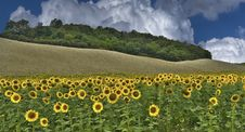 Free Sunflowers Royalty Free Stock Photography - 20764047