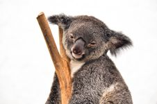 Koala Having A Rest Royalty Free Stock Photography