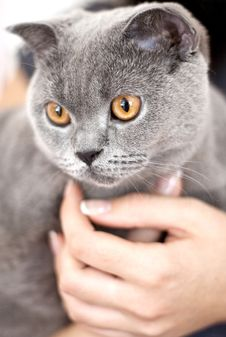 Free Gray Cat Stock Photography - 20765362