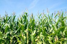 Free Corn Field Royalty Free Stock Photography - 20766397