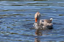 Domestic Goose Bathing Stock Photos