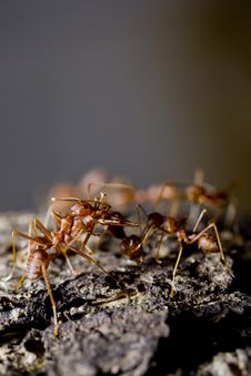 Free Group Of Red Ants On Wood Royalty Free Stock Photos - 20767328