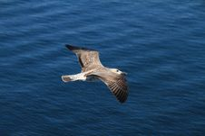 Free Seagull Stock Photos - 20767823