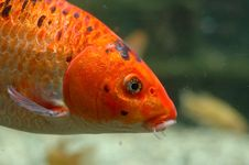 Free Orange Fish Underwater Stock Photo - 20767870