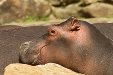 Free Portrait Of A Young Hippo Stock Images - 20769014