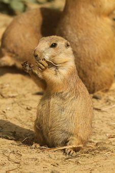 Young Little Prairie Dog Eating Stock Image