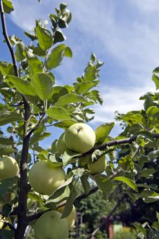 Free Green Apples Royalty Free Stock Image - 20769166