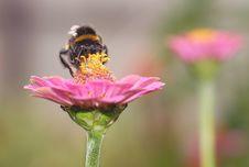 Free Bumblebee Royalty Free Stock Image - 20769656