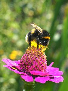 Free Bumblebee Royalty Free Stock Image - 20769676