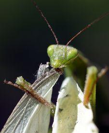 Free Mantis Stock Photo - 20769990