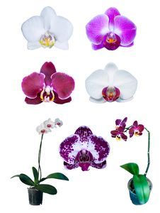 Free Group Of Orchids Isolated Stock Images - 20769994