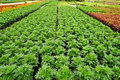Free Seedlings Of The Same Sort At Farms Royalty Free Stock Image - 20774666