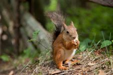 Free Red Squirrel Eating In A Park Royalty Free Stock Photography - 20770717
