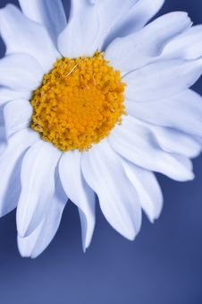 Free The Daisy Effect Stock Image - 20770731