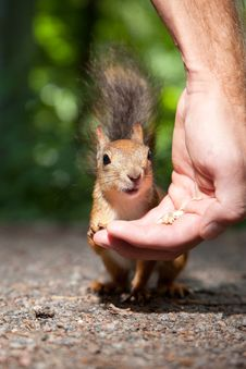 Free Red Squirrel Eating From Human Hand Stock Photos - 20770783