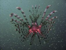 Common Lionfish Pterois Miles Royalty Free Stock Photography