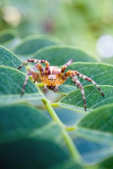 Free Cross Spider Stock Photography - 20771092