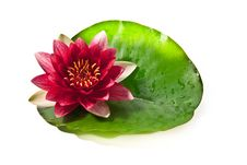 Free Water Lily With Leaf Royalty Free Stock Photos - 20771158