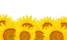 Free Sunflowers Isolated Stock Images - 20774634