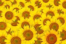 Free Beautiful Sunflower Royalty Free Stock Photos - 20774668