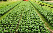 Free Seedlings Of The Same Sort At Farms Royalty Free Stock Images - 20774769