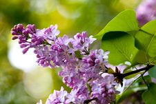 Free Bunch Of Violet Fragrant Pink Lilac Stock Images - 20774884
