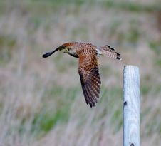 Free Kestrel In Flight Royalty Free Stock Images - 20775299
