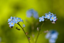 Free Blue Forget-me-not Royalty Free Stock Image - 20776876