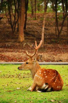 Free The Sika Deer Stock Photos - 20779723