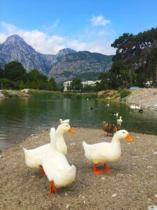 Free Geese On A Walk On The Shore Of The Lake. Stock Photos - 207785493