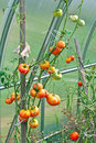 Free Growing Tomatoes Royalty Free Stock Images - 20781089