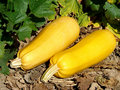 Free Two Ripen Marrows Stock Images - 20788764